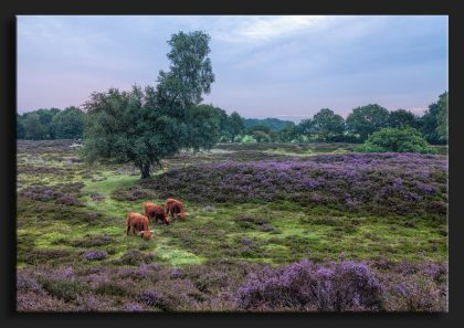 Grazende_Schotse_Hooglanders_Gasterse_Duinen - Heather with Scotisch Highlanders